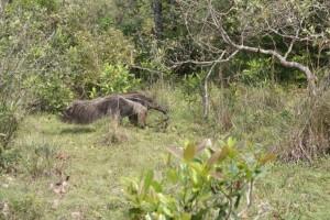 Anteater, Pantanal Wildlife