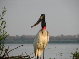 Jabiru Stork, Pantanal Wetland, Brazil