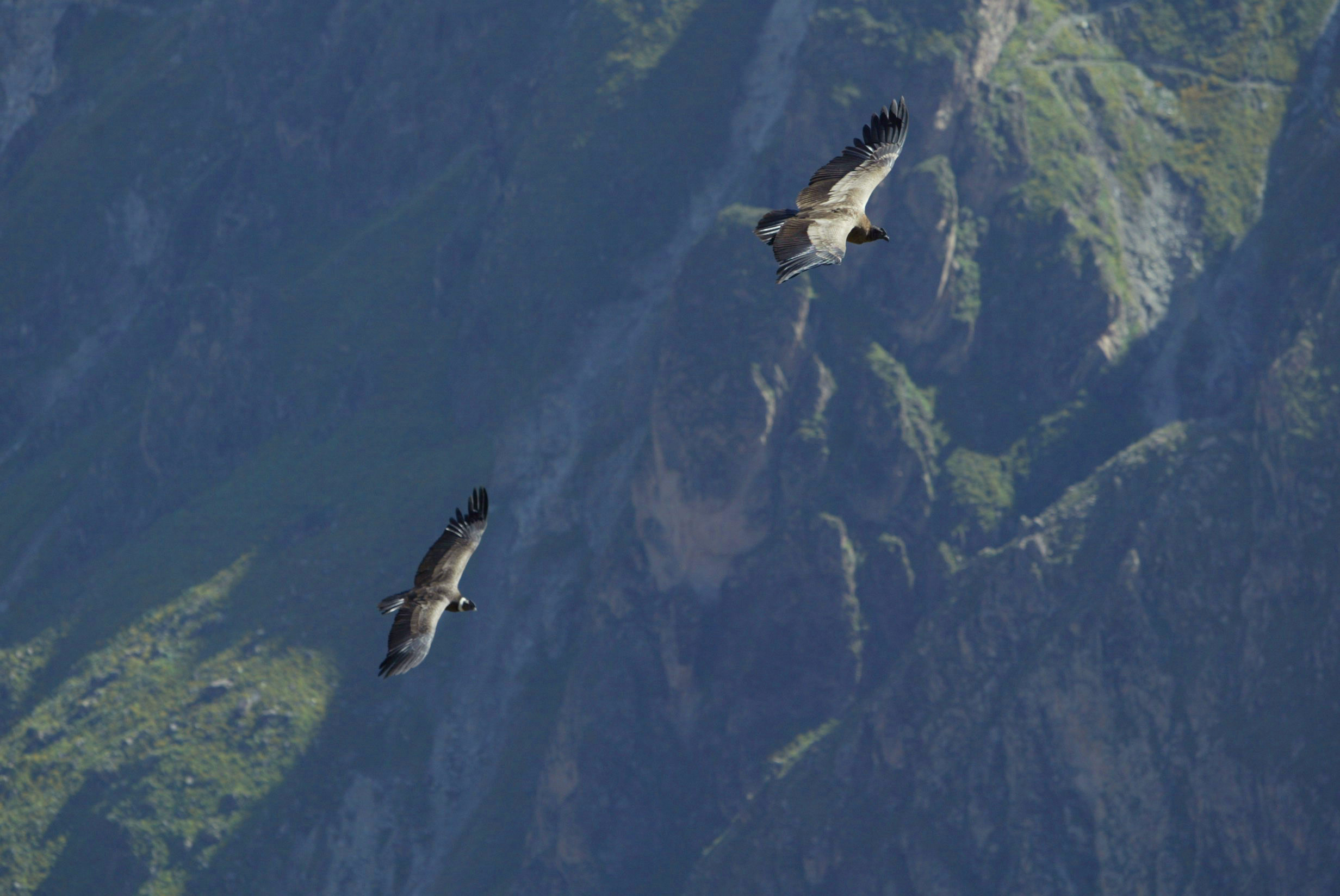 Giant Turtles Vs Vultures Condors Colca Canyon