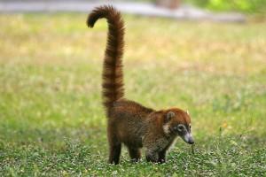 Guatamala wildlife: Coatimudi